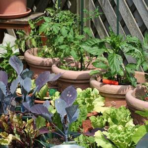 【家庭菜園の鬼が教える】育てたら面白かった夏野菜5選
