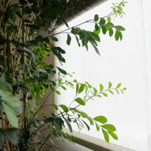 我が家の観葉植物、2M越えのシルクジャスミン
