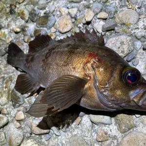 これがメバリングの魅力?時化の日でも漁港内で釣れるメバルには感謝しかない!