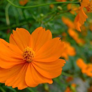 赤と黄色の綺麗に咲き誇るコスモスの写真素材です。