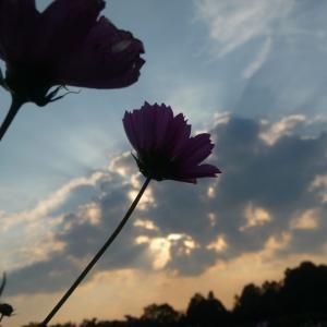 夕陽と白いコスモスの写真素材です。