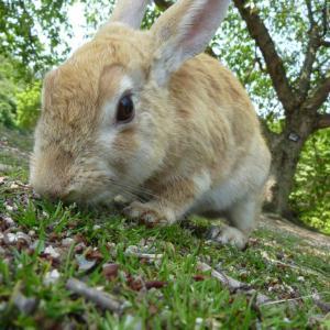 広島県大久野島のウサギと風景の著作権フリー写真素材その4です。