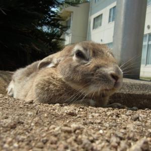広島県大久野島のウサギと風景の著作権フリー写真素材その9です。
