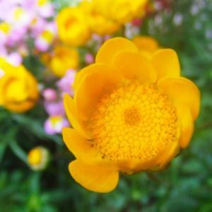 赤やピンク、オレンジの原色が鮮やかな、アネモネ・アラゲハンゴンソウ・エゾギク・ハマミズナ・ジャガイモの花・シデコブシ・ヨモギギクの、花の写真素材です。