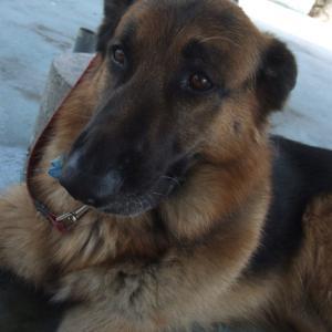 シェパード・ビーグル・ラッセルテリア・黒ラブ・日本犬・ミックス犬の可愛いワンコたちの写真素材です。