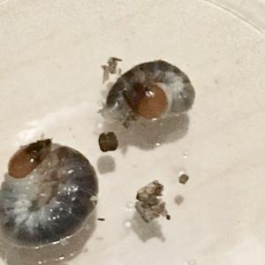 オオクワガタの幼虫が2齢になりました