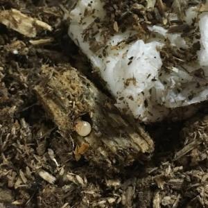 オオクワガタの卵が孵化