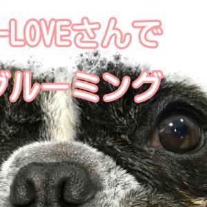 【フレンチブルドッグ】A-LOVE 八乙女店さんでグルーミング