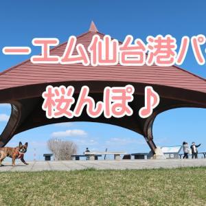 【ワンちゃんとお出かけスポット】スリーエム仙台港パークで桜んぽ♪