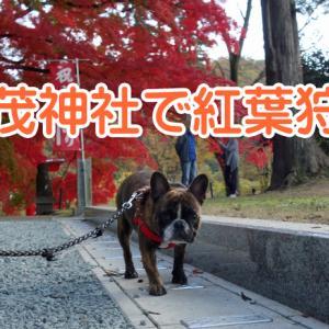 【フレンチブルドッグ】紅葉狩り