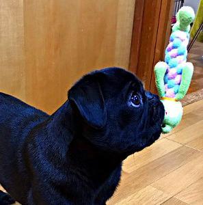 パグの好きなおもちゃ「かえるちゃん」
