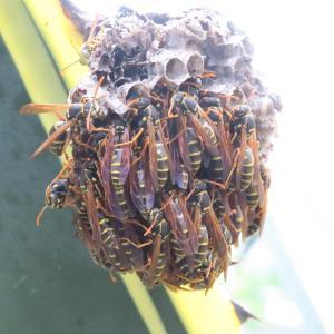 アガベの葉に作られた蜂の巣の蜂は何をしているのでしょう?