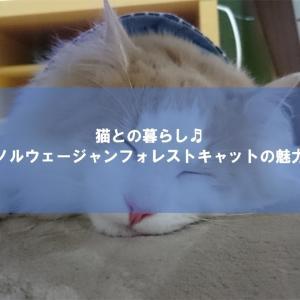 【猫の可愛い写真】ノルウェージャンフォレストキャットの魅力10選