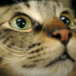 猫の目の病気を引き起こす全身性の感染症について!