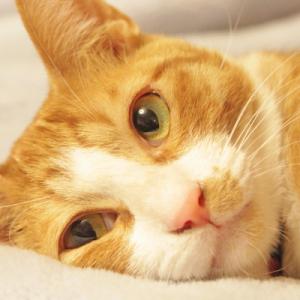 猫の腎不全にアゾディルの効果とは?成分や働きについて!