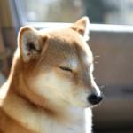 犬の糖尿病と腎臓の関係!合併症による腎不全の進行や症状など!