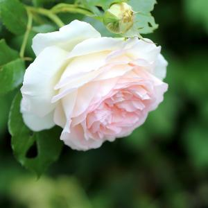 おうちの薔薇② ★ 香りの薔薇たち // 薄紙のような花弁と芳香「スノーペイブメント」