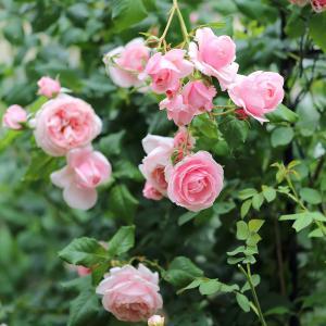 【小庭のようす】香水の薔薇ナエマと白くこぼれ咲くスタージャスミン