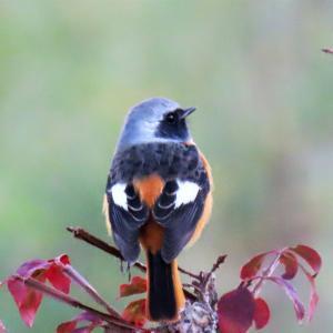 野鳥観察 ウォーキングにて 10.26