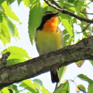 野鳥観察 ウォーキングにて 05.04 「キビタキ 初撮り」