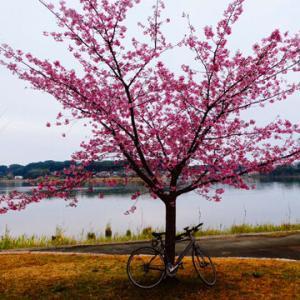 佐鳴湖の河津桜は満開!カワセミと「杢屋の掛け蕎麦を3回美味しく食べる方法」&Puff/Peter, Paul & Mary
