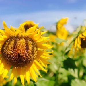 「ひまわり」「向日葵」「sun flower」GO WEST!/Livin' La Vida Loca-Ricky Martin