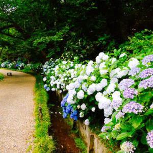 紫陽花、見納め!「はままつフラワーパーク」/浜田省吾-紫陽花のうた