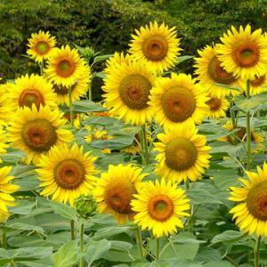 ひまわりLoss of Love - Sunflower(Henry Mancini)
