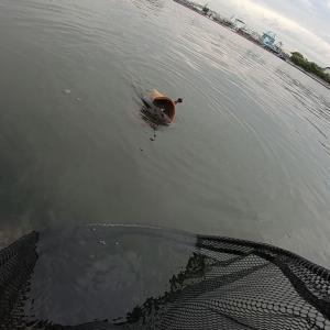 チニングに行ってアカエイが釣れた!