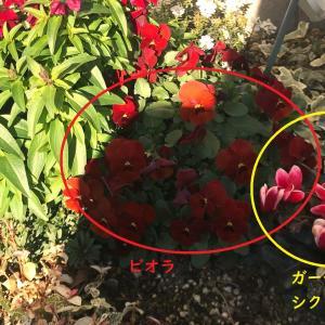 オリーブの成長記録その6&庭の草花の成長記録。冬を越して、枯れた草花と元気な草花。