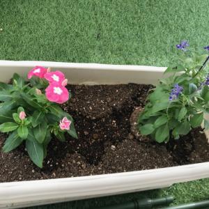 庭とバルコニーのお花たち、枯れたり復活したり、虫がついて対策したり…紆余曲折。ハイポネックスで少し元気に?