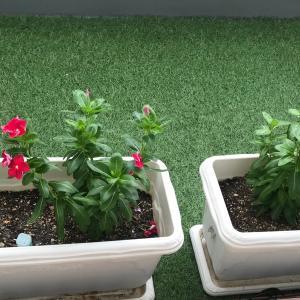 秋になって、バルコニーのプランターのお花が元気に?枯れそうだったブルーサルビア復活。レースラベンダーも新調。