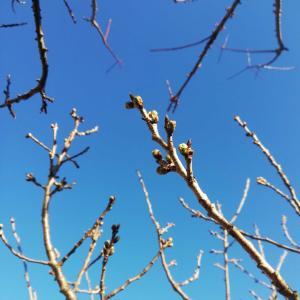 桜('-'*)♪🌸🍒