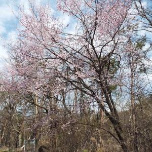 「山桜」ざんまい・・(^^♪