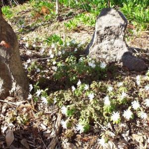 咲きだした「アズマイチゲ」