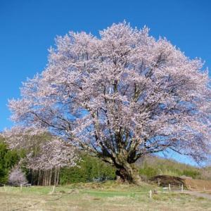 満開の天皇桜・・(^^♪