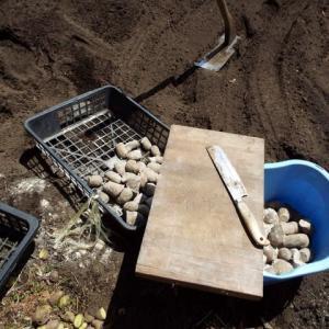 ジャガイモの植え出し