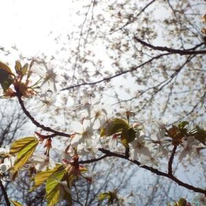 山桜の素顔・・(^^♪
