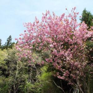 やっと満開になった八重桜・・(^^♪