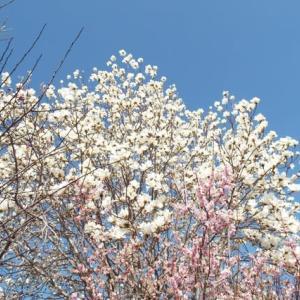 ほころび始めた「春」・・(^^♪