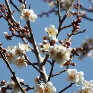 やっと咲き出した「梅の花」(^^♪