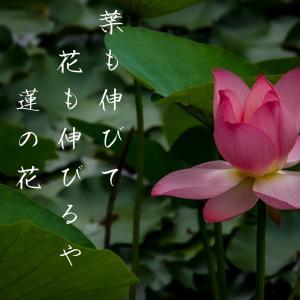 葉も伸びて花も伸びるや蓮の花