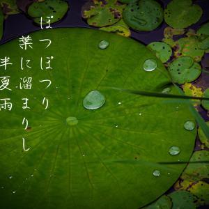 ぽつぽつり葉に溜まりし半夏雨