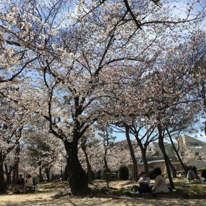 春うらら 桜の季節です。