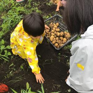 子ども会でジャガイモ掘り