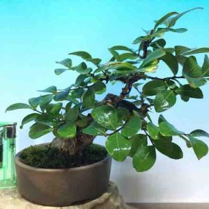 ☆★ サルスベリ 樹高15cm