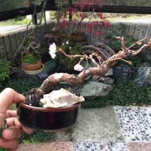 ☆★ 十月桜ようやく開花!