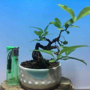 ☆★ マユミ 樹高12cm