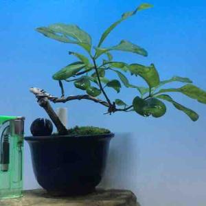 ☆★ マユミ雄木 樹高10cm