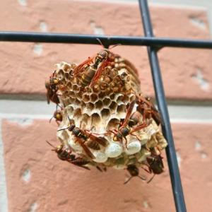 コアシナガバチは益虫か?それとも害虫か?